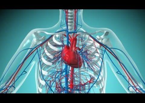 Нормализация работы сердечно-сосудистой системы
