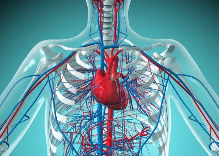 Сердечно-сосудистой системы