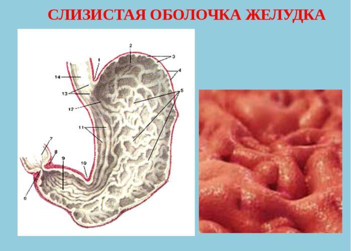 Слизистую оболочку желудка