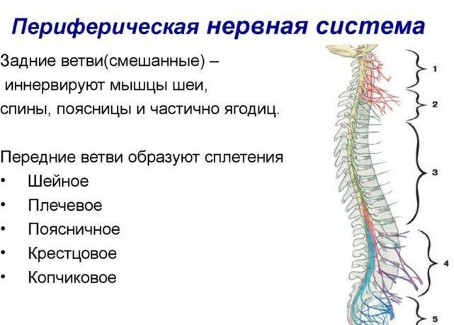 Функции периферической нервной системы