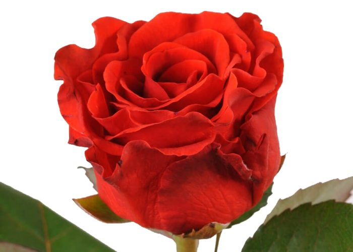 Гавайская роза