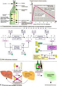 Метаболизм этанола