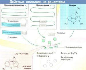 Действие опиоидов на рецепторы
